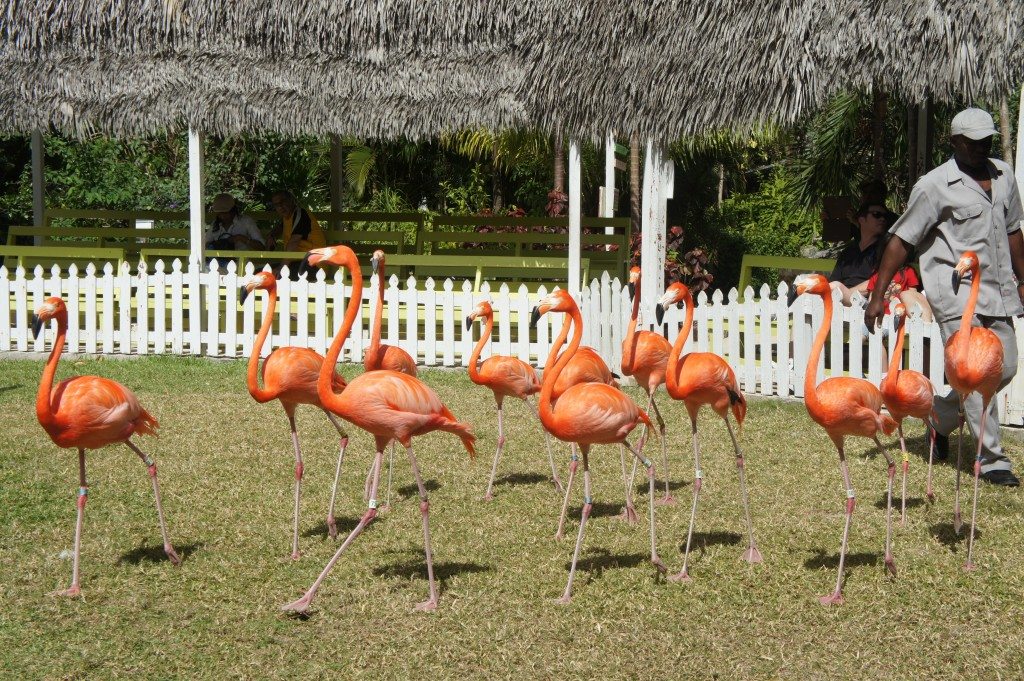 Flamingo march at Ardastra Gardens in Nassau Bahamas