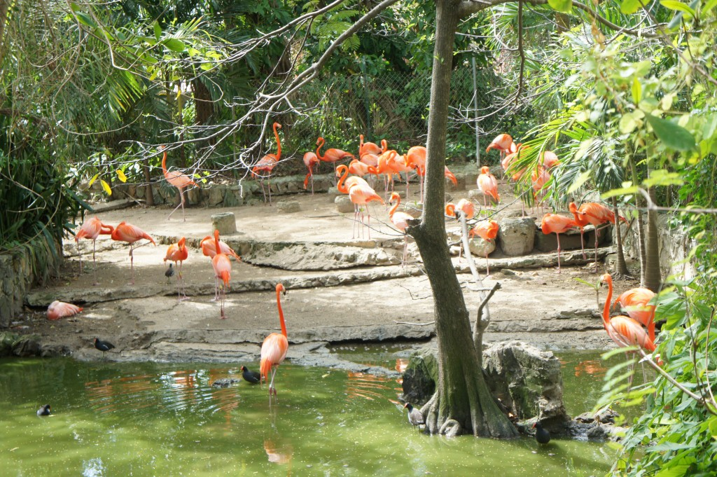 Breeding colony of flamingos at Ardastra Gardens & Zoo in Nassau, Bahamas